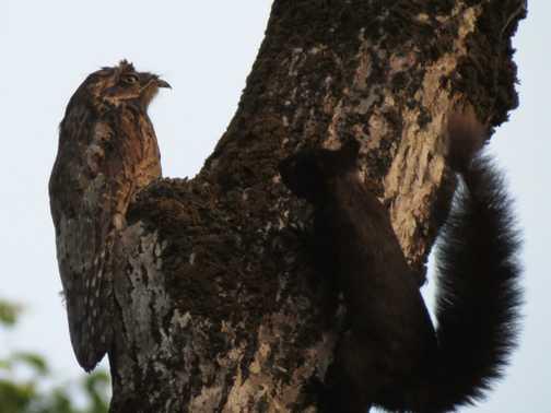 Common Potoo & Squirrel - Manuel Antonio