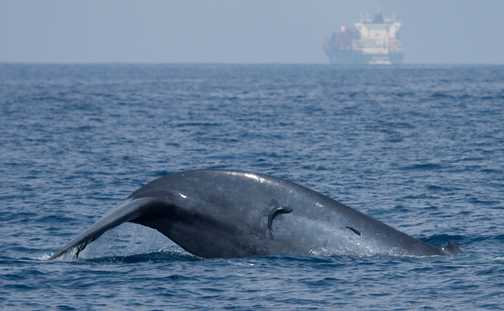 Blue whale and friends