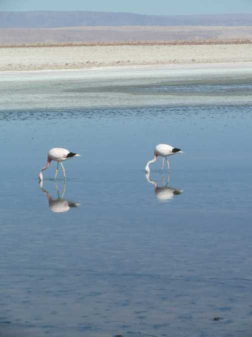 Andean flamingos at Salar de Atacama