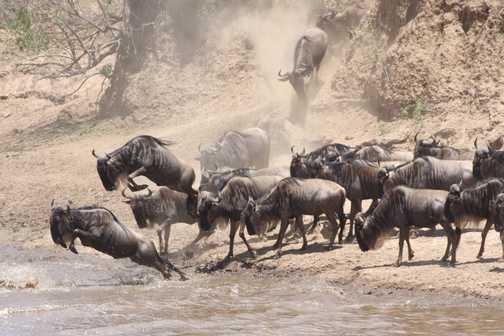 Migration of the Wildebeest across the Mara river in Kenya.