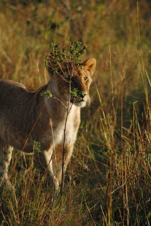 Lion Cub on the Masai Mara