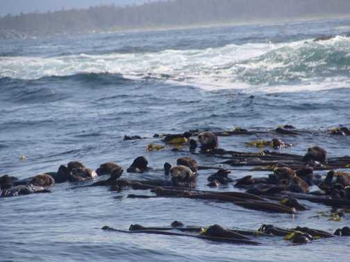Sea otters in kelp