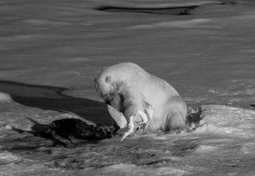 Ivory Gulls Perform in Front of Hungry Polar Bear