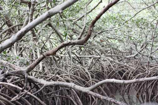 Mangroves in Sine Saloum delta