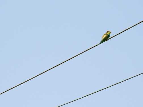A bee eater bird on the last telephone wire we'd see for a while!