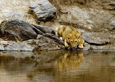 Thirsty lion