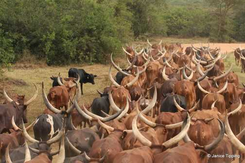 Long Horned Cattle on the move