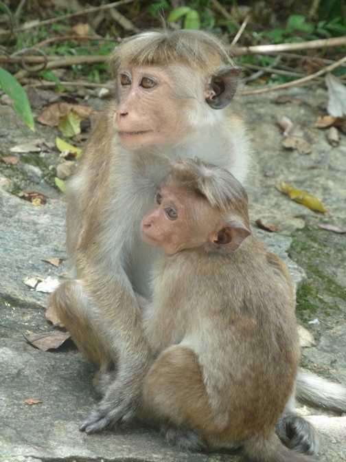 Monkeys at Dambulla