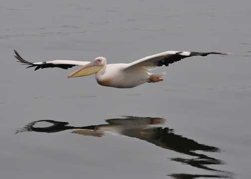 Pelican in flight at Walvis Bay