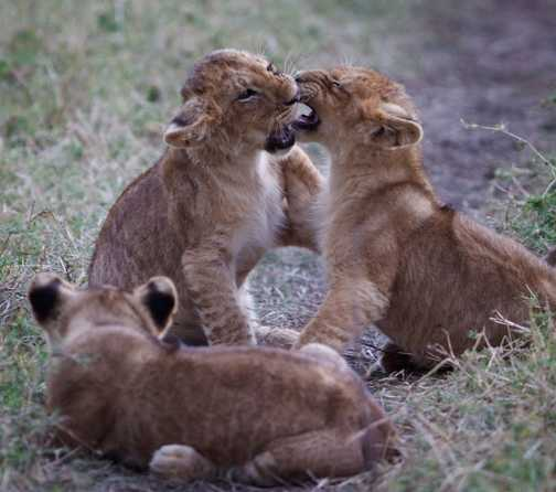 Playing cubs