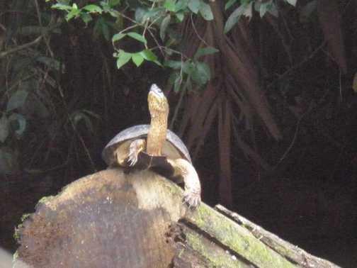 Black neck turtle