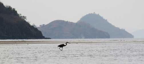 Flores - river trip. Stork billed kingfisher.
