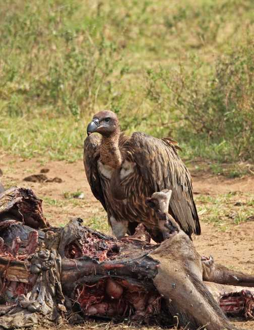 African White backed vulture at lunch!