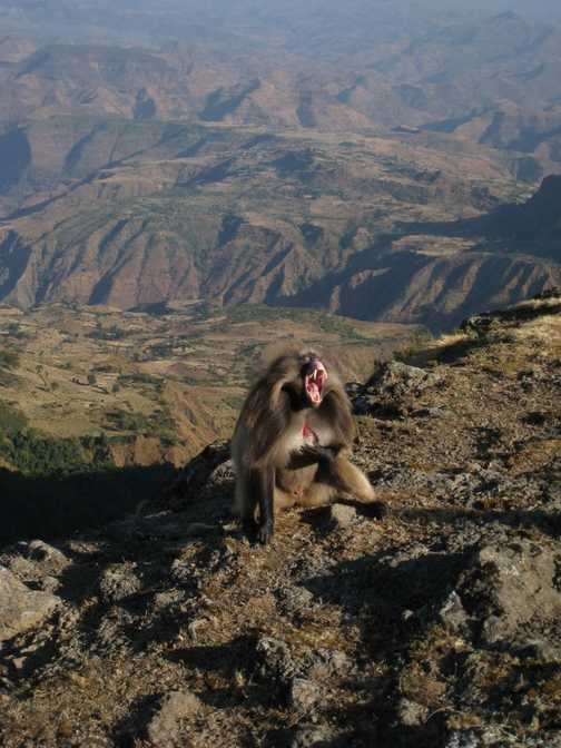 Gelada Baboon, Simien Mountain National Park