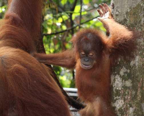 Gunung Leuser NP - orangutan