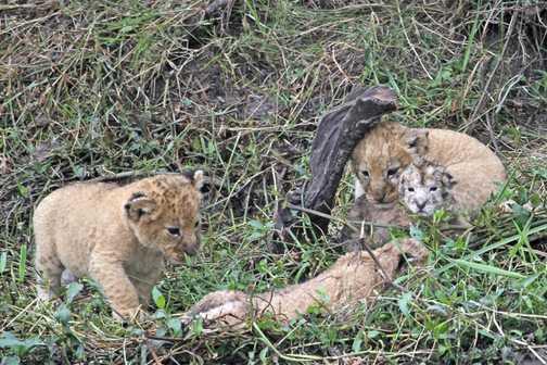Lion cubs - 2 weeks old & 2 hours old 2