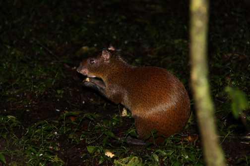 agouti on night walk