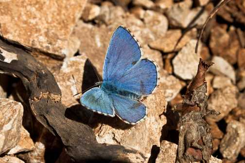 Holly Blue (very common)