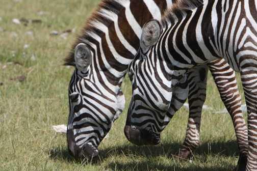 Stripy Donkey