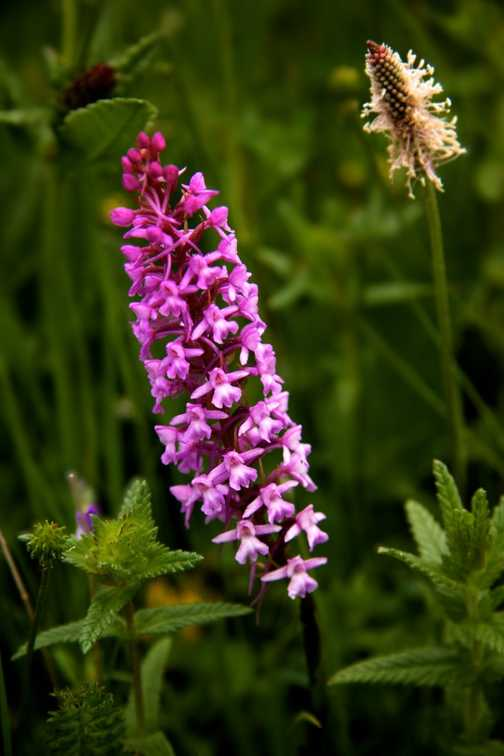 Flowers - Fragrant Orchid
