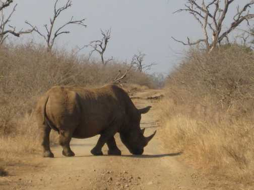 magnificent rhino