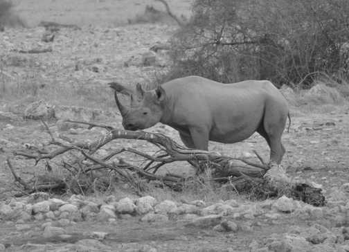 Rhino at Okaukuejo, Etosha NP