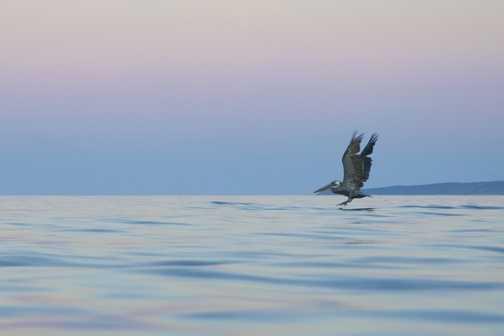 pelican near Mulege, Baja