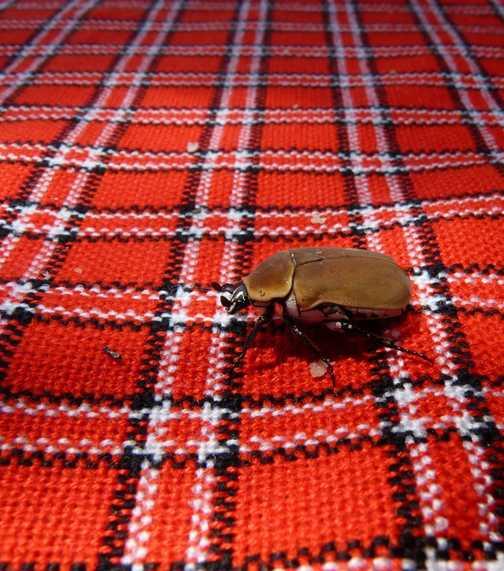 Masai Beatle