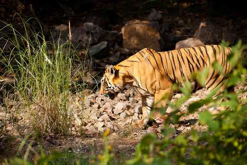 Just as we are giving up hope... a tiger!