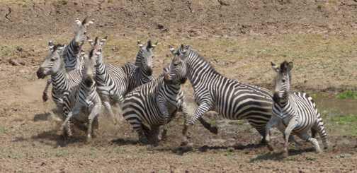 panic station zebra
