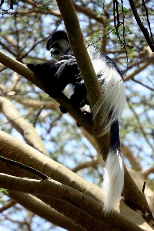 Colobus monkey - L Naivasha campsite