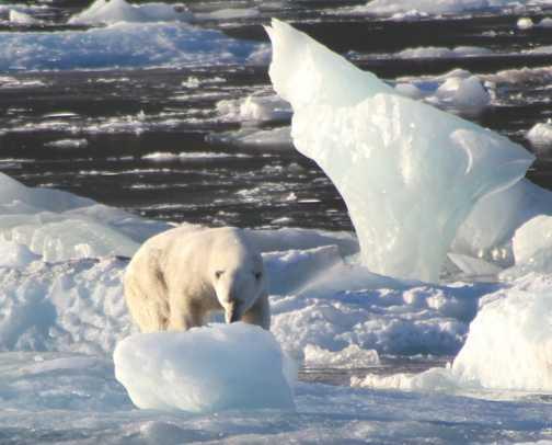 Polar bears in the Artic