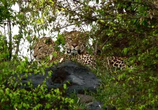 Mating pair of leopards