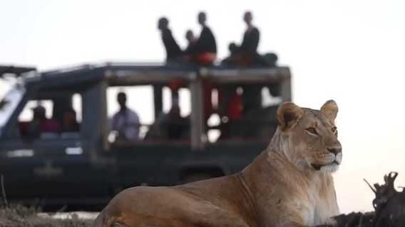 Lioness on the game drive