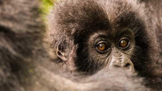Gorillas, Rwanda