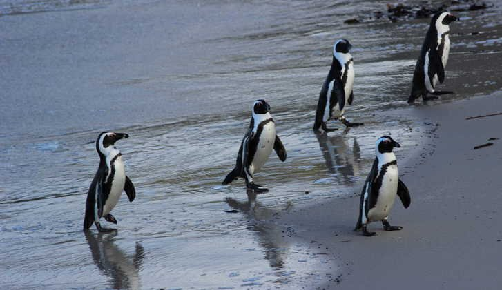 African penguins, Boulders Beach