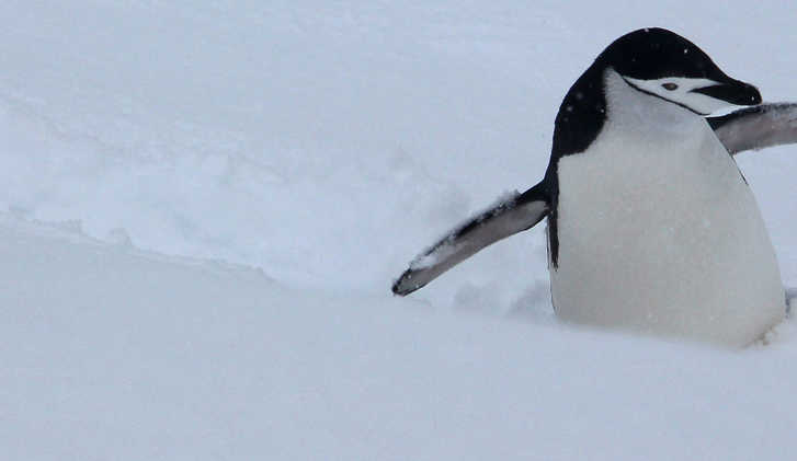 Chinstrap penguin on Half Moon Island