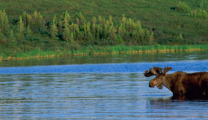 Moose, Wonder Lake, Denali National Park, Alaska, USA