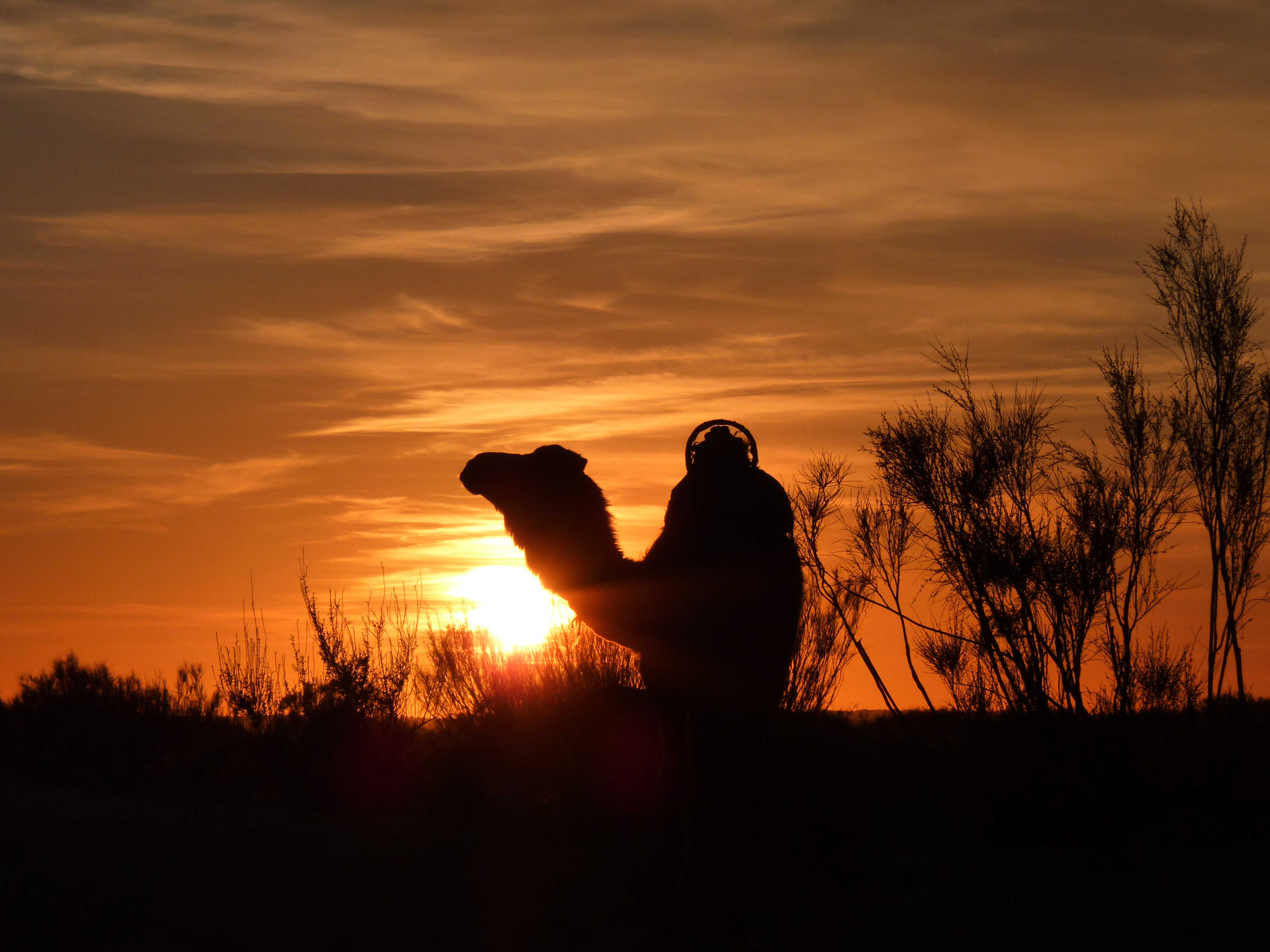 Camel at sunset, Sahara Desert