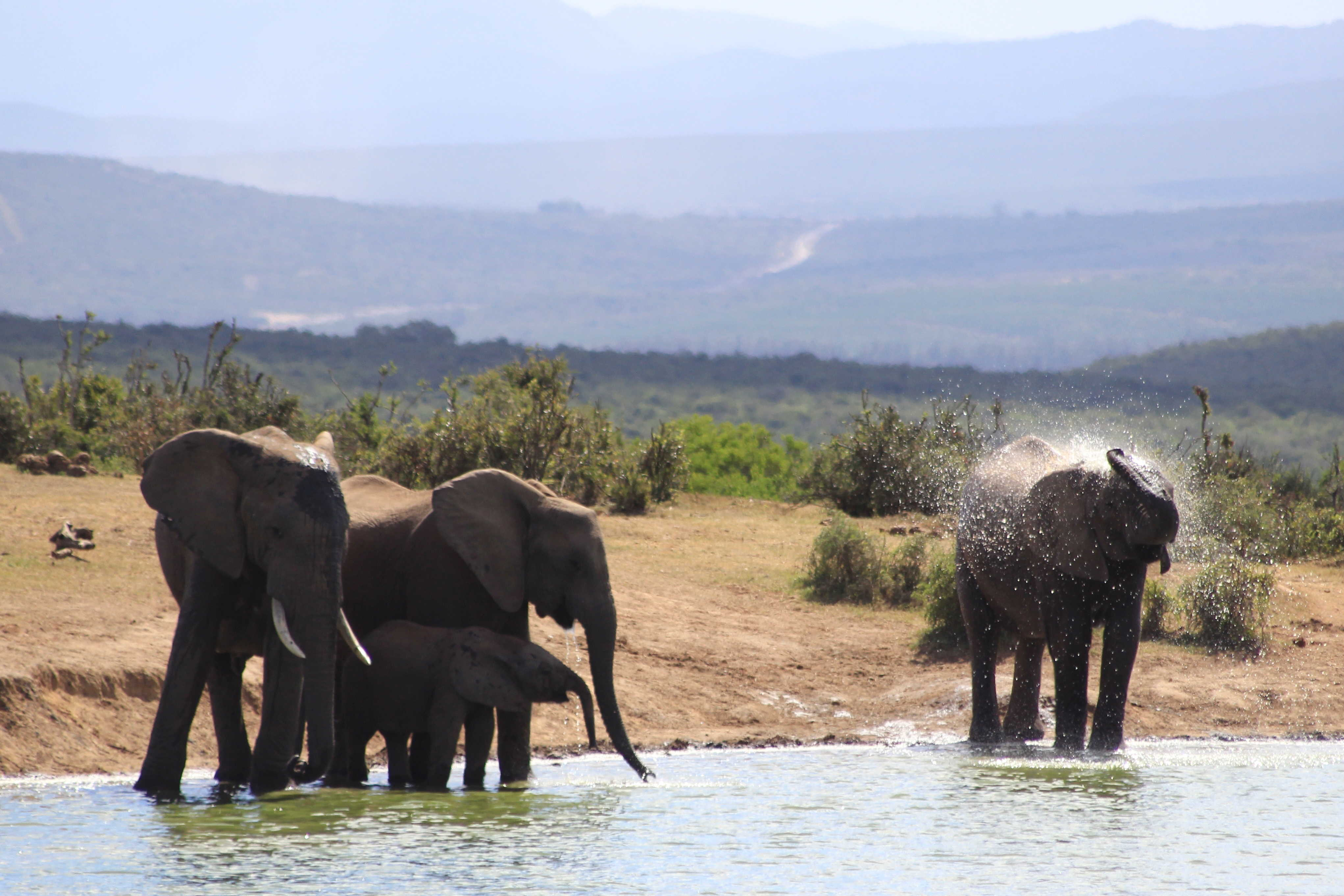 Elephants in Addo National Park, South Africa