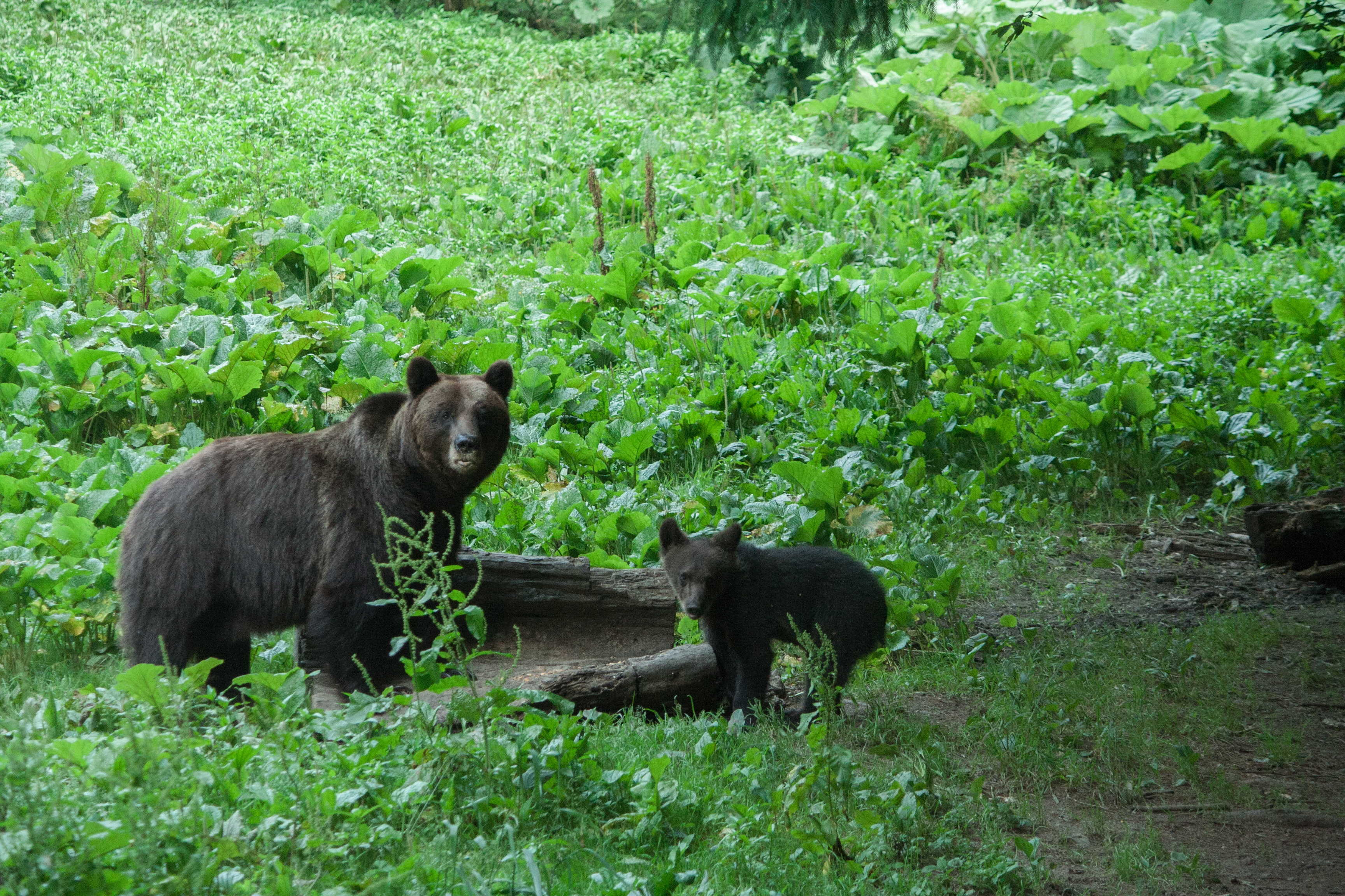 Mother bear and cub, Romania