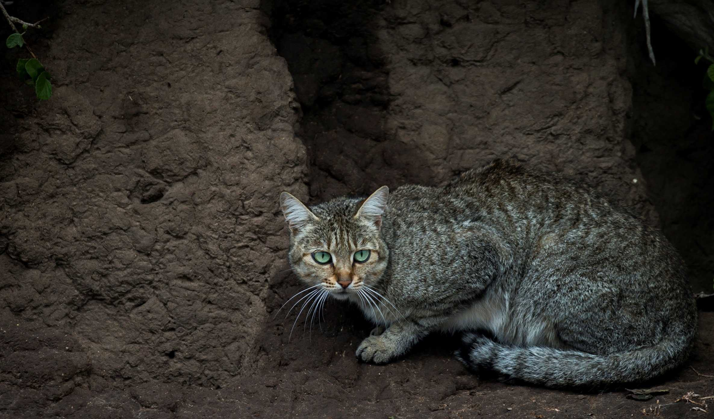 African Wild Cat in the Masai Mara, Kenya (Image by Paul Goldstein)