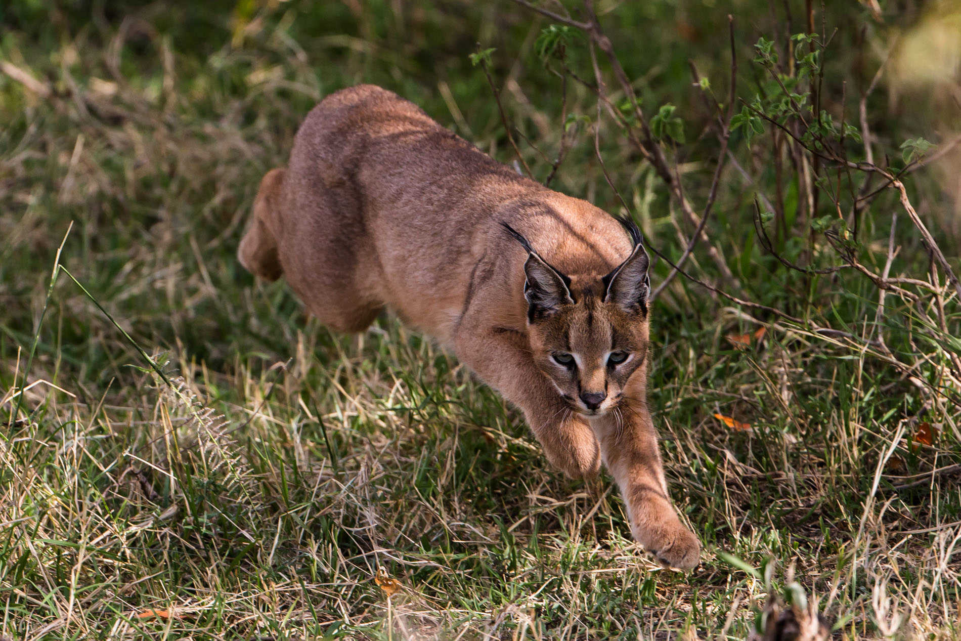 Caracal in the Masai Mara (Image by Paul Goldstein)