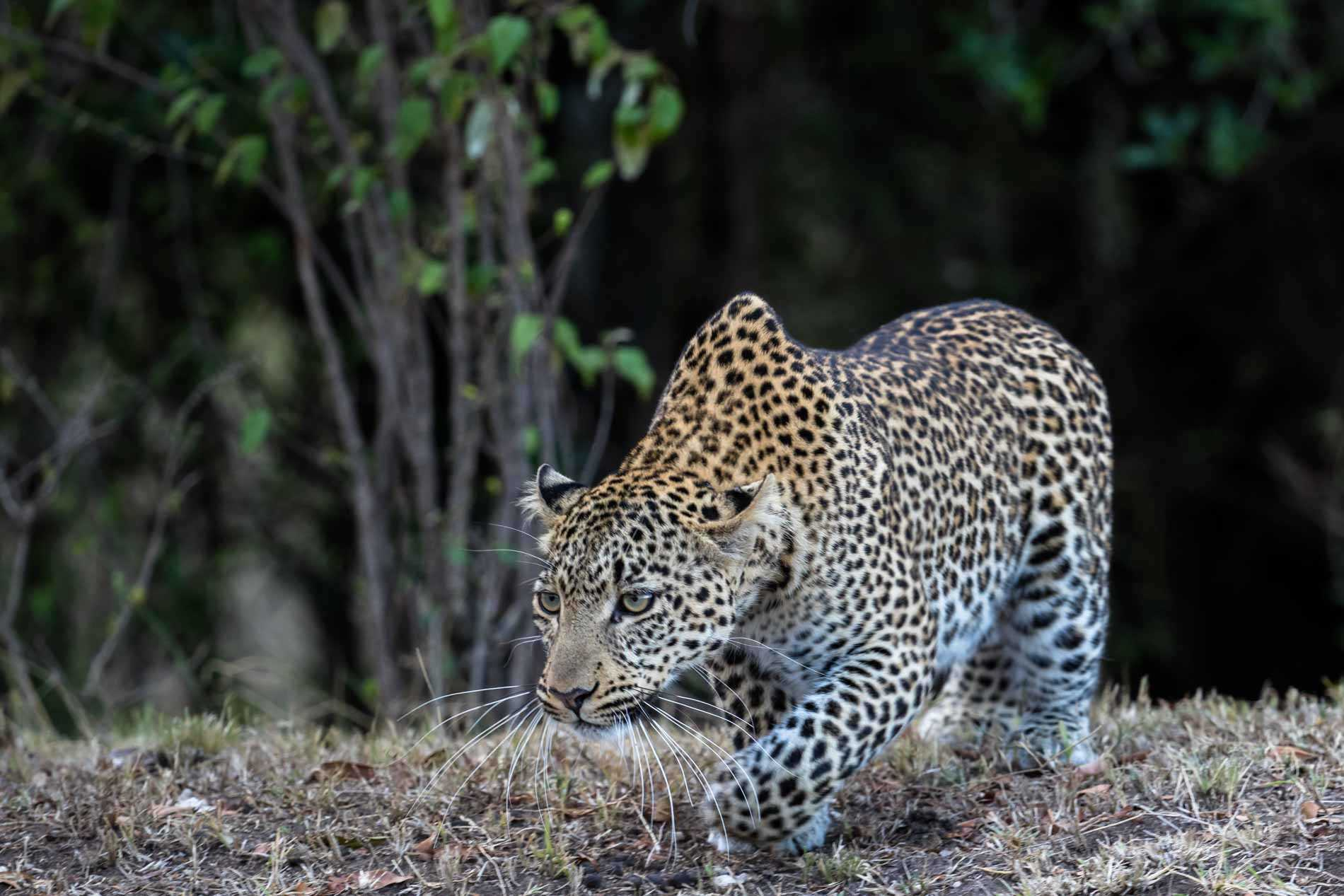 Leopard in the Masai Mara (Image by Paul Goldstein)