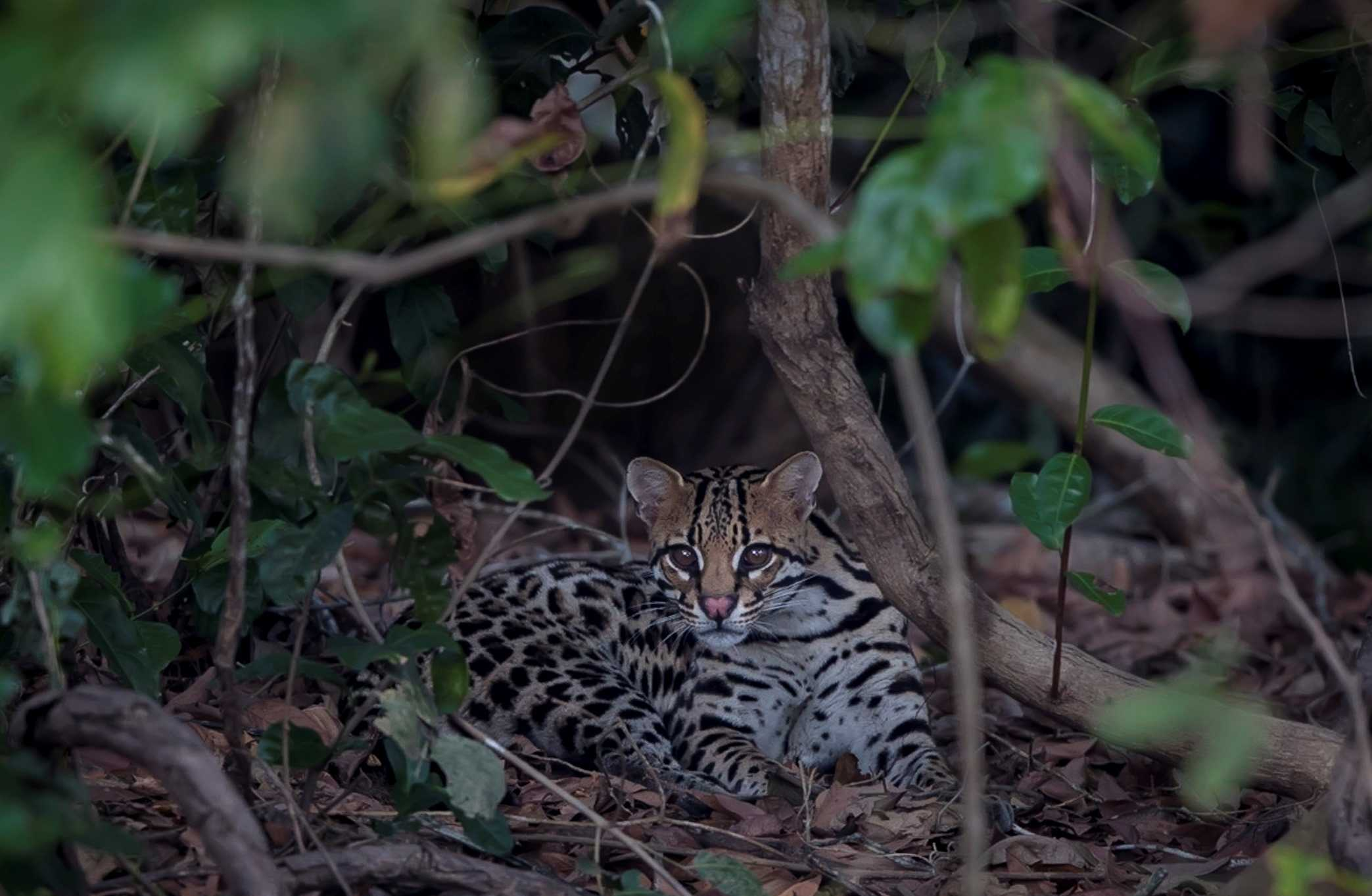 Ocelot in the Pantanal, Brazil (Image by Paul Goldstein)