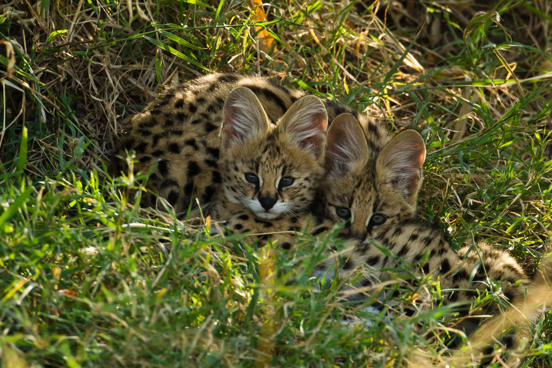 Servals in the Masai Mara (Image by Paul Goldstein)