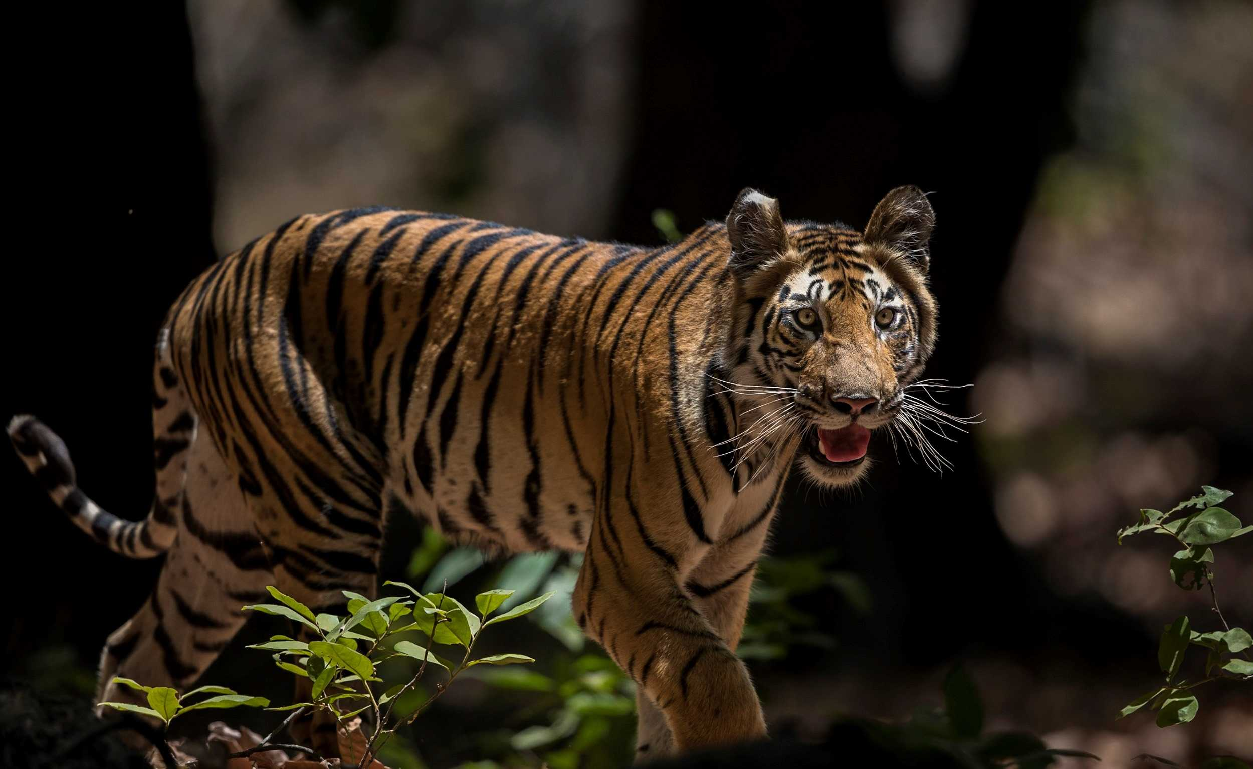 Young Bengal Tiger (Image by Paul Goldstein)